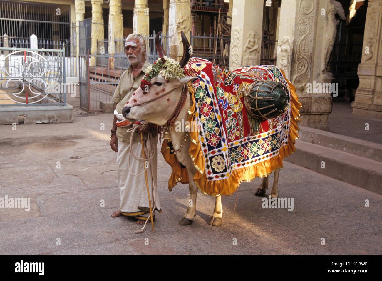 Man with fortune-telling bullock at Sri Meenakshi Hindu temple, Madurai, Tamil Nadu, India - Stock Image