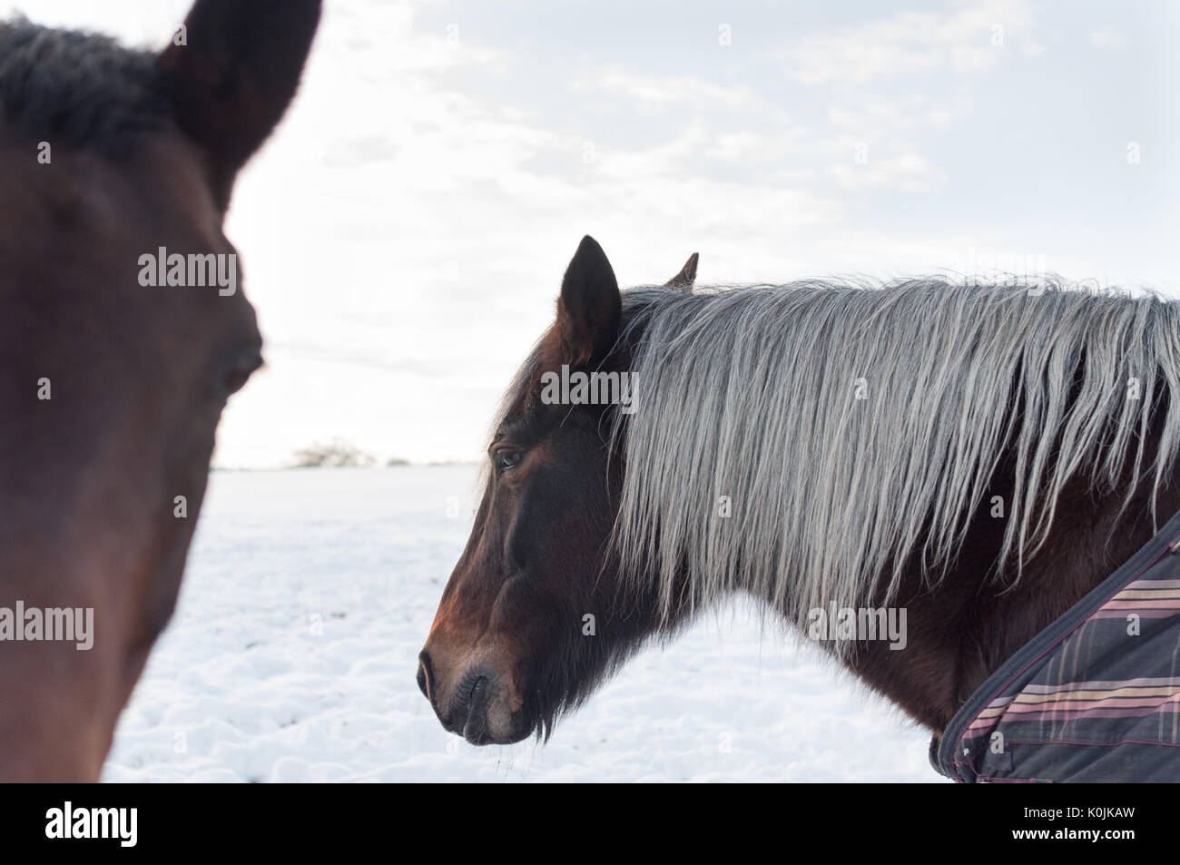 Two brown horses in a snowy field on a bright winter day. One of the horses has a grey mane and is wearing a blanket. Stock Photo