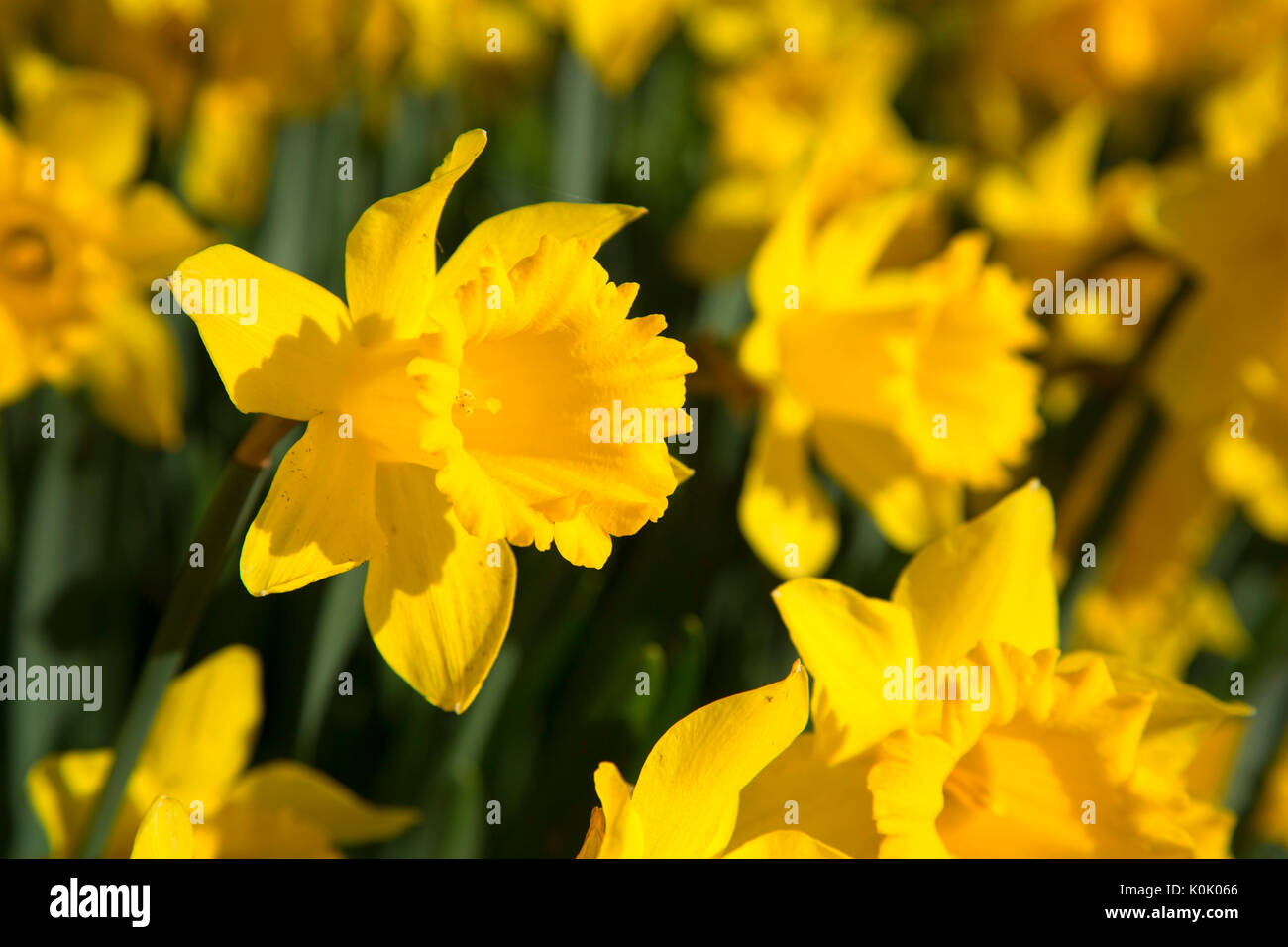 Daffodils, Bushs Pasture Park, Salem, Oregon - Stock Image