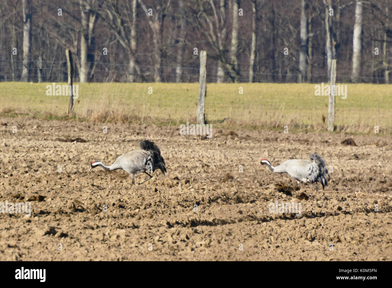 Common cranes (Grus grus) on a field, Common cranes (Grus grus) sur un champ, Brandebourg, Allemagne, Germany - Stock Image