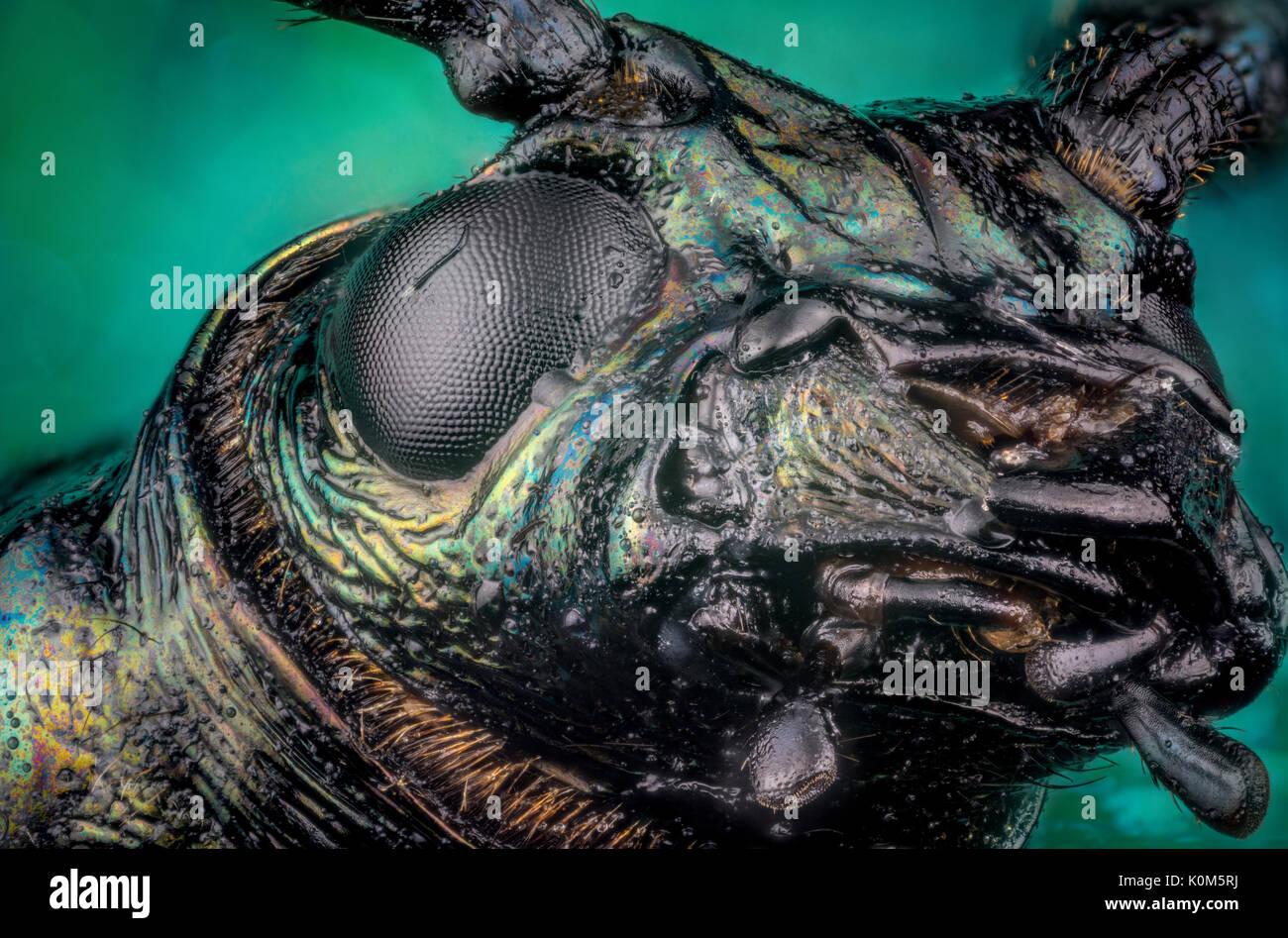 Head of ground beetle (Carabus rutilans) micro or extreme macro photography - Stock Image