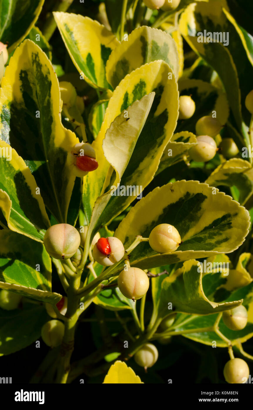 Seeds of Euonymus. - Stock Image