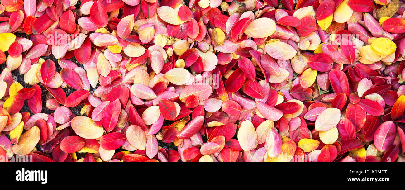 Colorful autumnal leaves on the ground background, panoramic background, autumn concept Stock Photo