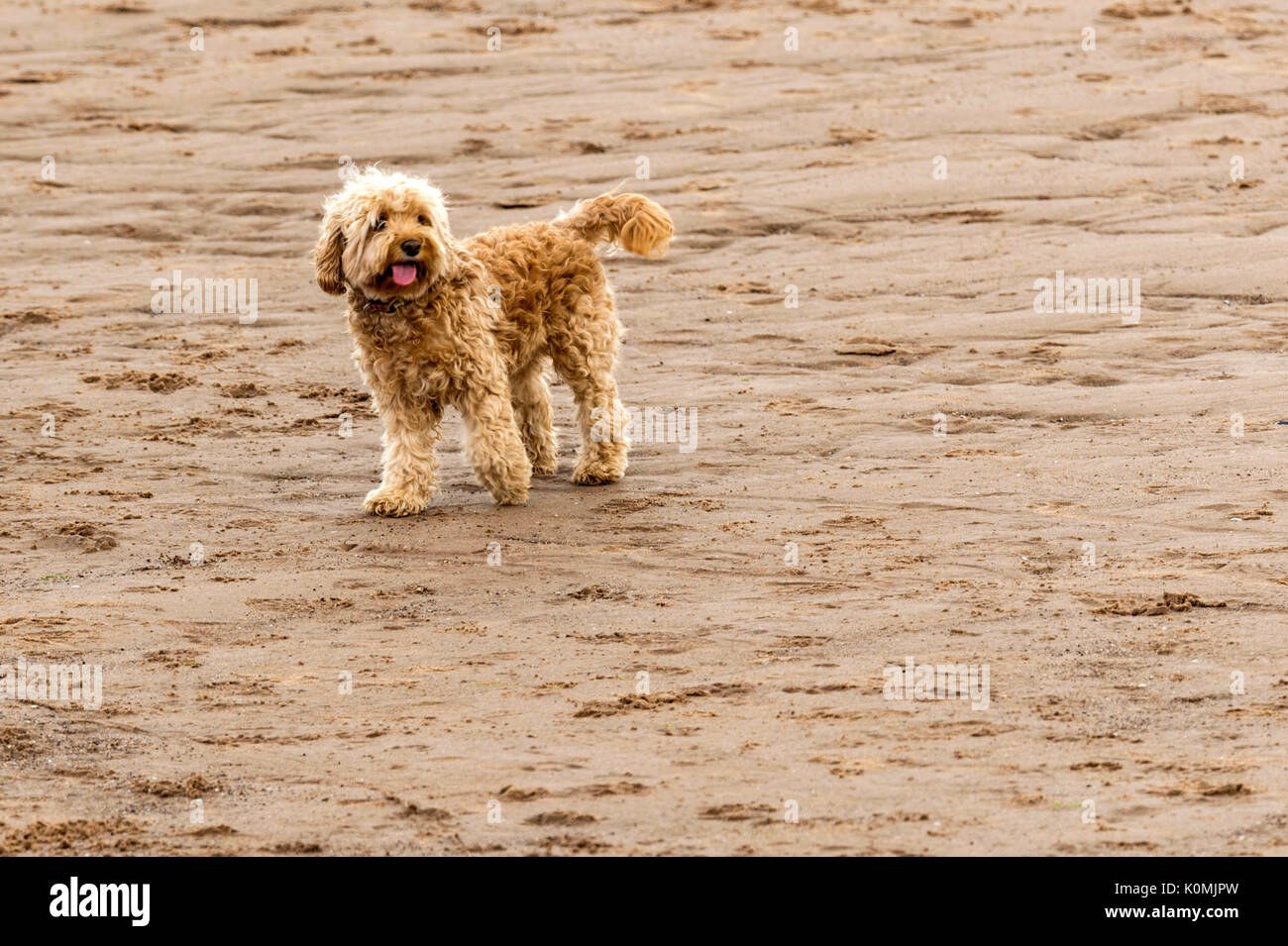 Who let the dogs out! Dogs on the beach exercising, playing, running, jumping and frolicking on beautiful summer's day on one of Devon's finest beach. - Stock Image
