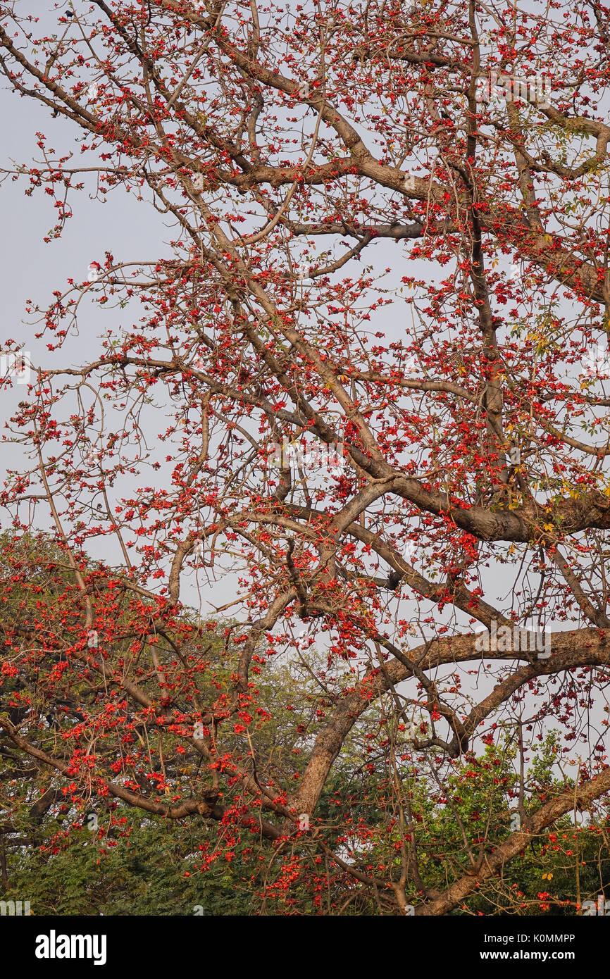 Red Silk Cotton Tree Stock Photos & Red Silk Cotton Tree