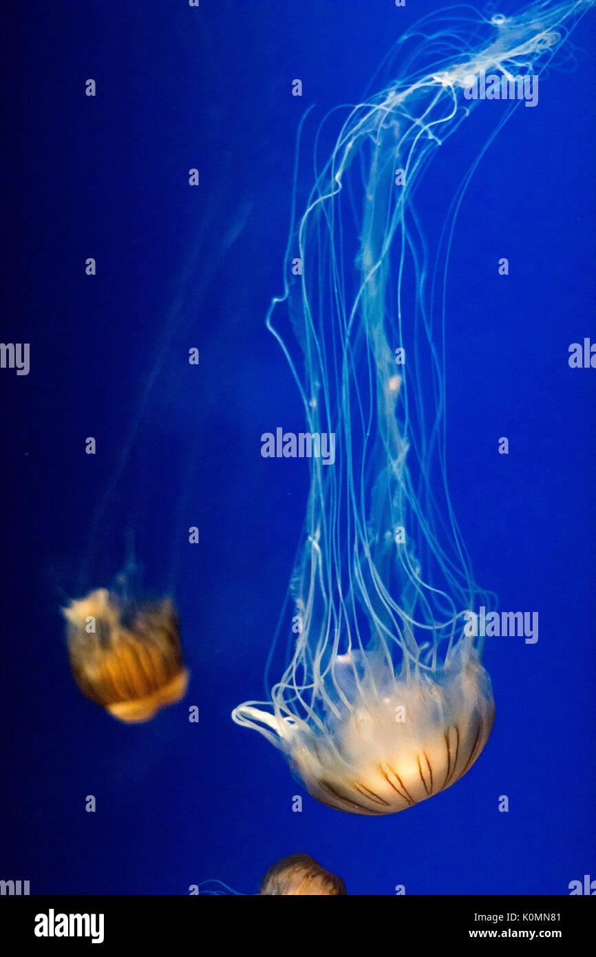 Orange jellyfish floating in vibrant blue water in an aquarium - Stock Image