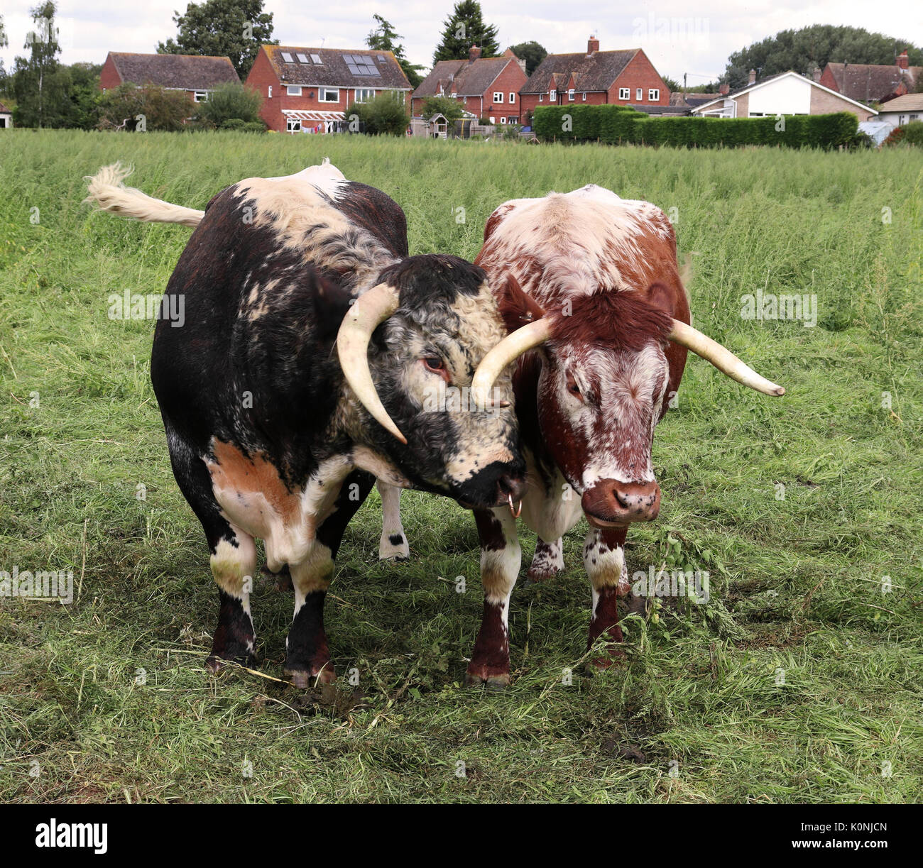 English Longhorn Bull and Cow in an English meadow - Stock Image