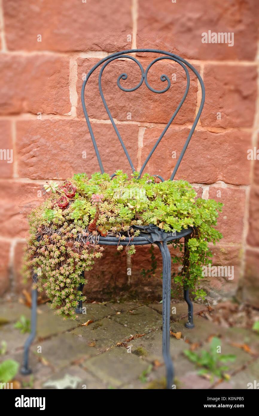 Hauswurz und Steinbrech wachsen wild und romantisch auf einem alten Stuhl und Tisch - Stock Image