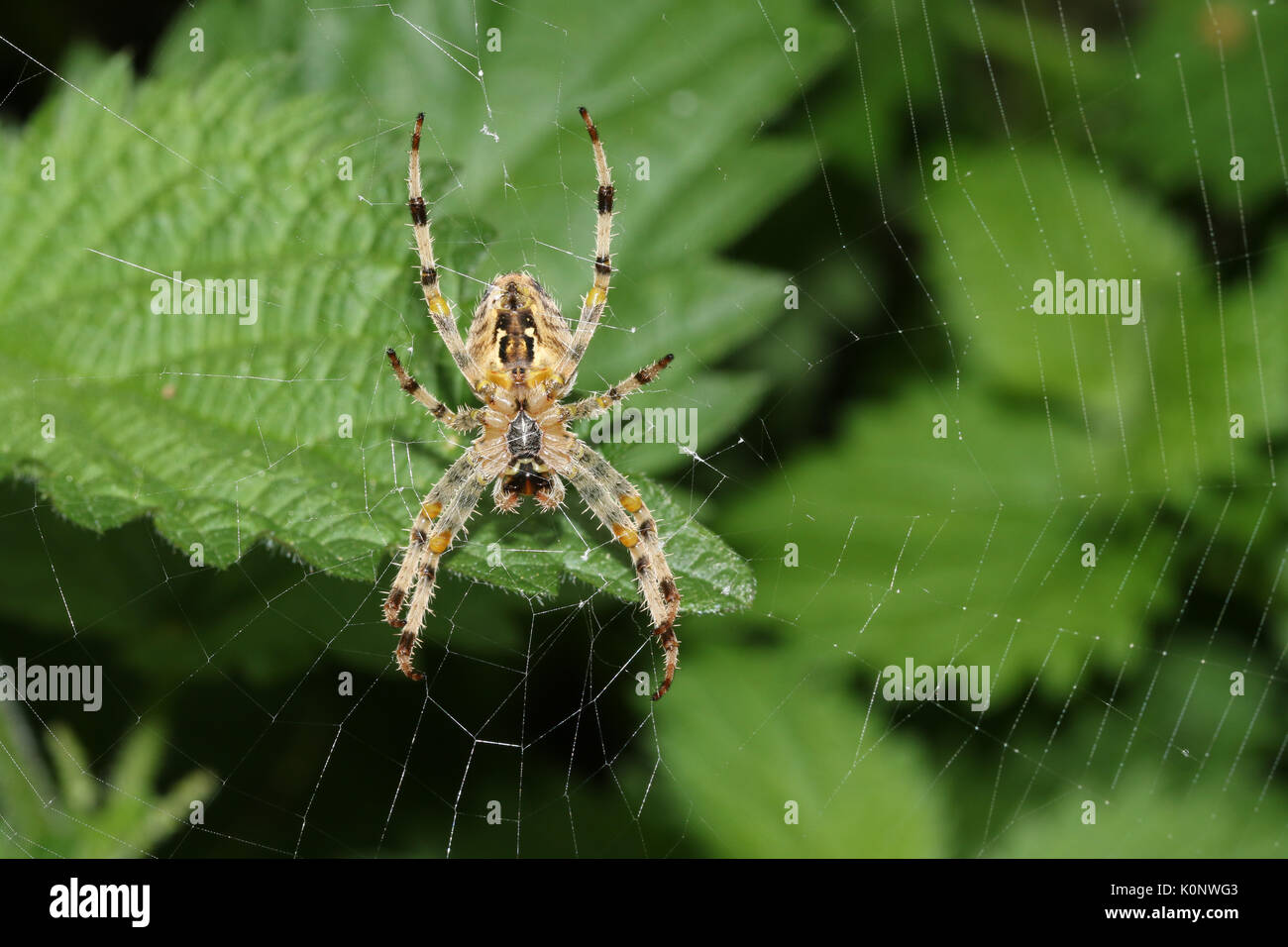 The underside of a  European Garden Spider or Cross Orb-Weaver (Araneus diadematus) perched on its web. - Stock Image