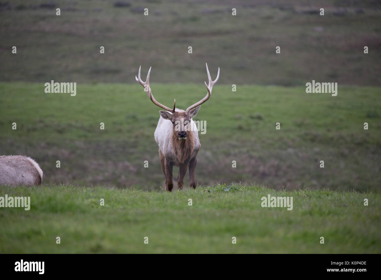 Closeup of wild male tule elk with large rack of antlers faces closeup of wild male tule elk with large rack of antlers faces camera as he roams grasslands in point reyes national seashore publicscrutiny Image collections