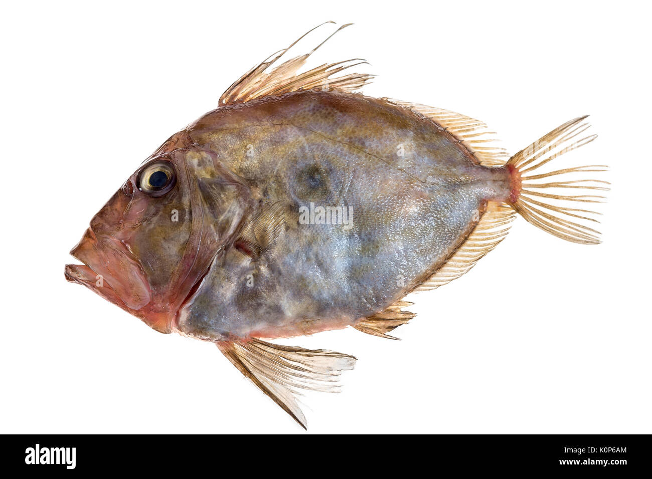 San Pierre Fish in front of white background - Stock Image