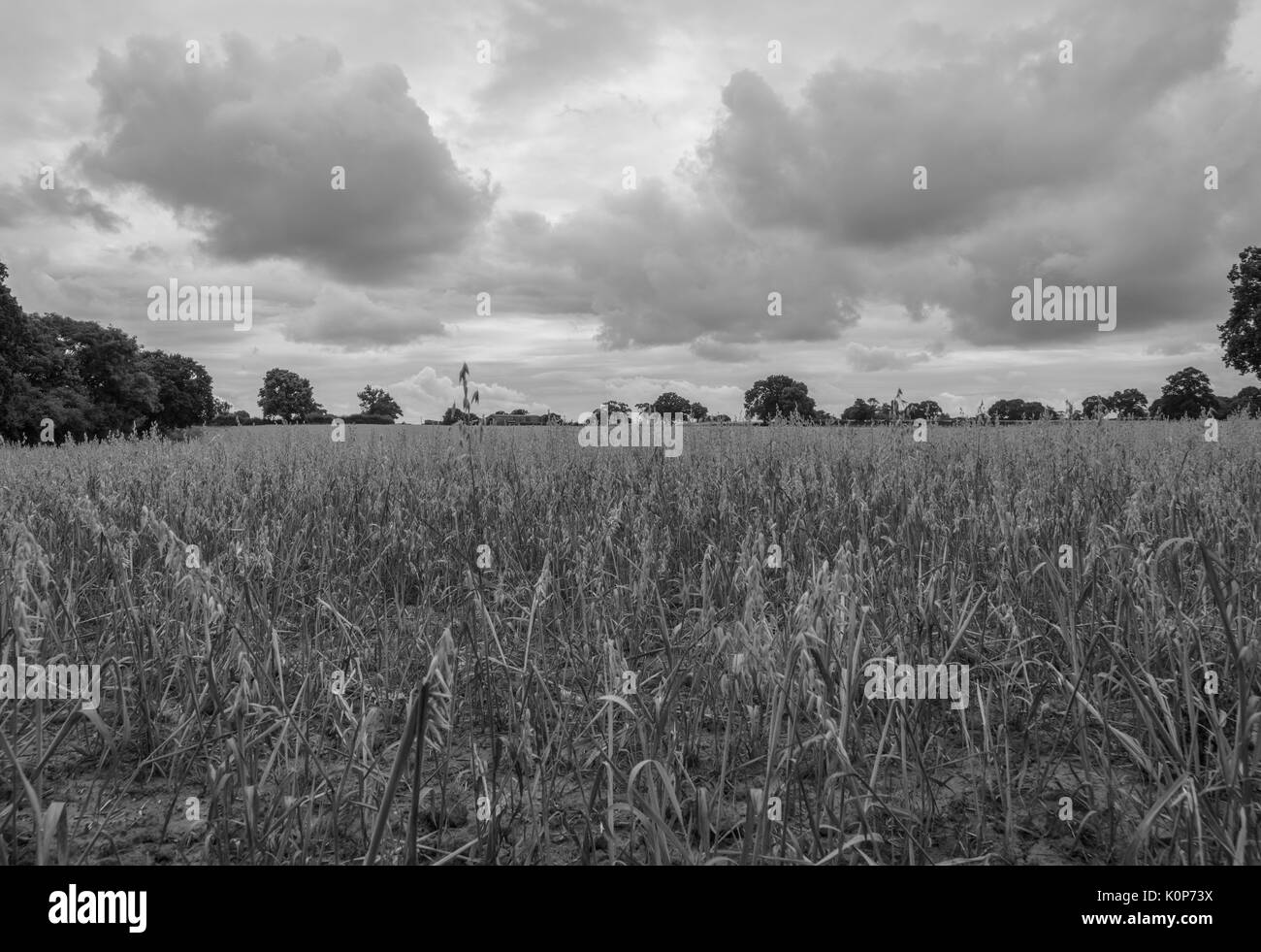 golden wheat field and dark cloudy sky - Stock Image