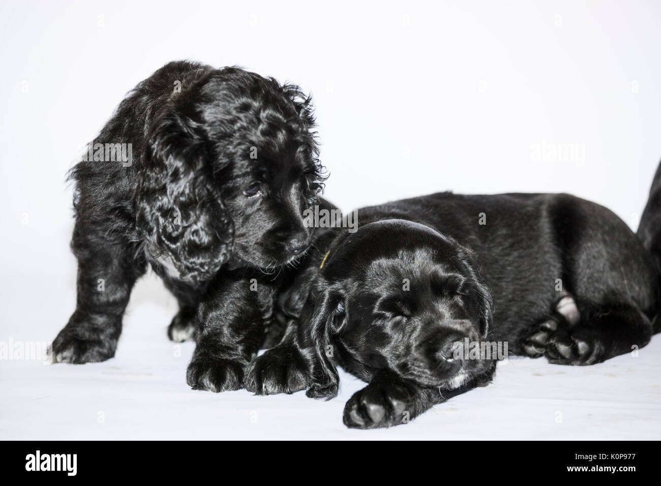 Shiny Black Puppies on white - Stock Image