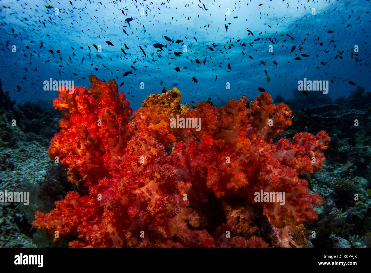 The stunning colors of the soft corals at Rainbow Reef off of ...