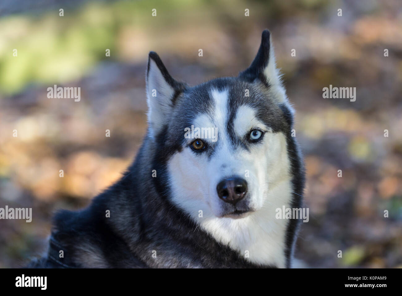Siberian Husky watching - Stock Image