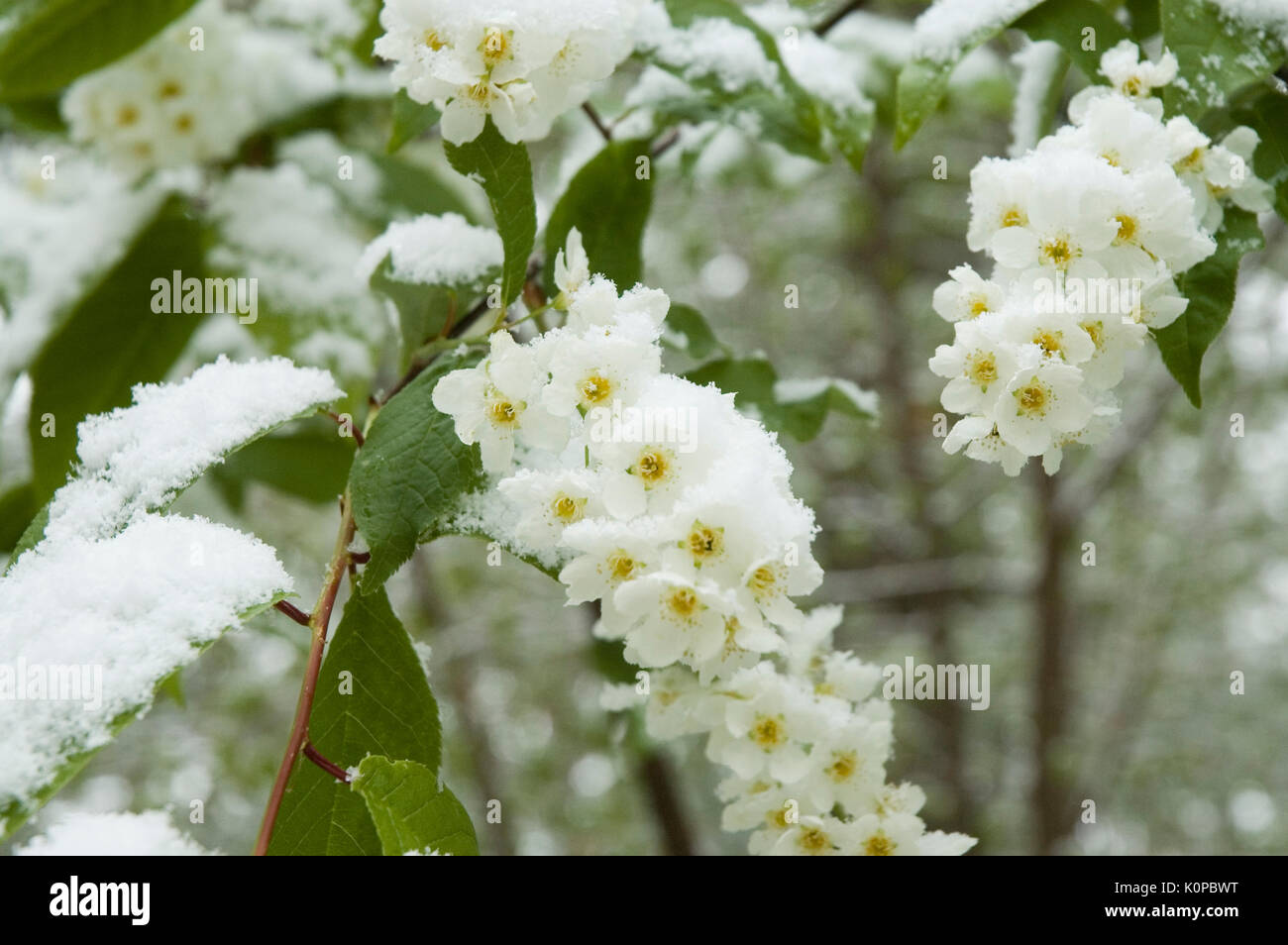 snow on blossoms of a spiraea - Stock Image