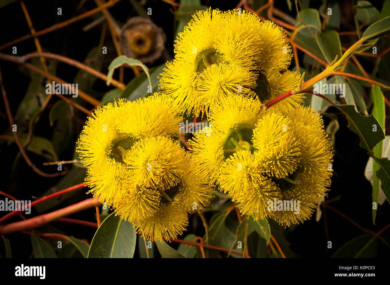 Eucalyptus erythrocorys. or Red Capped Gum flower. - Stock Image