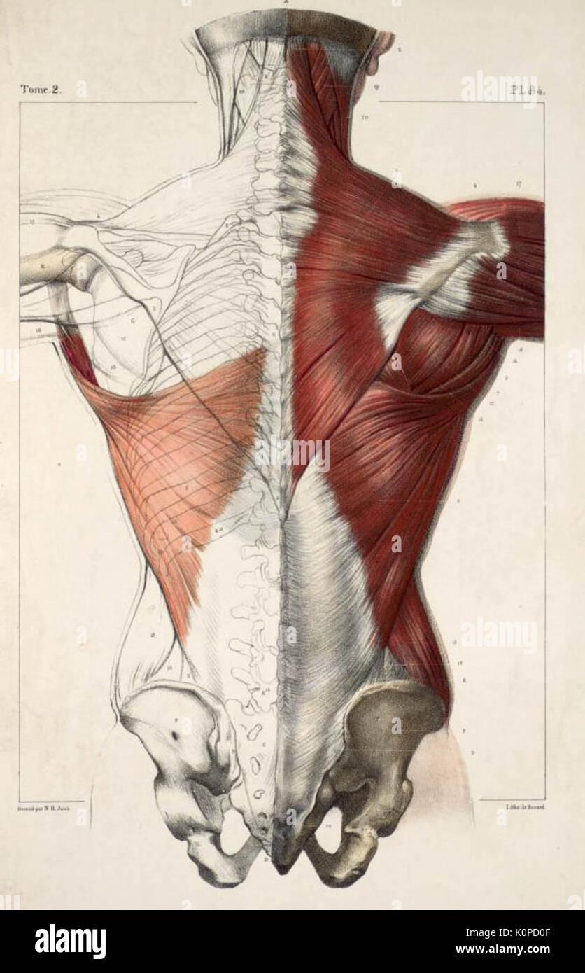Human Anatomy Chart Muscles Stock Photos Human Anatomy Chart