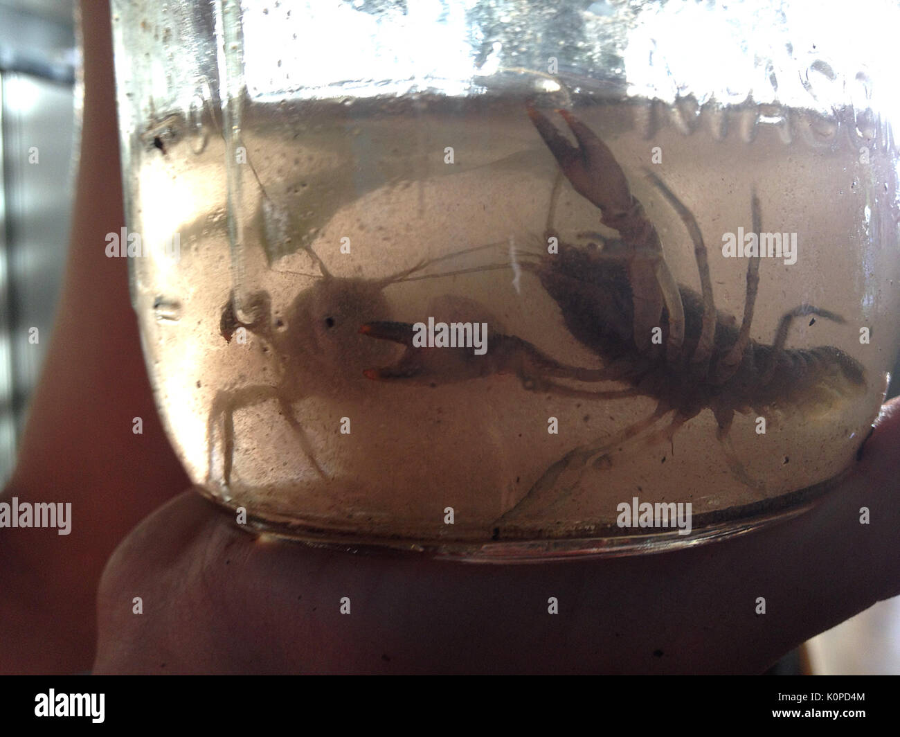 Crayfish captured  in glass jar Stock Photo