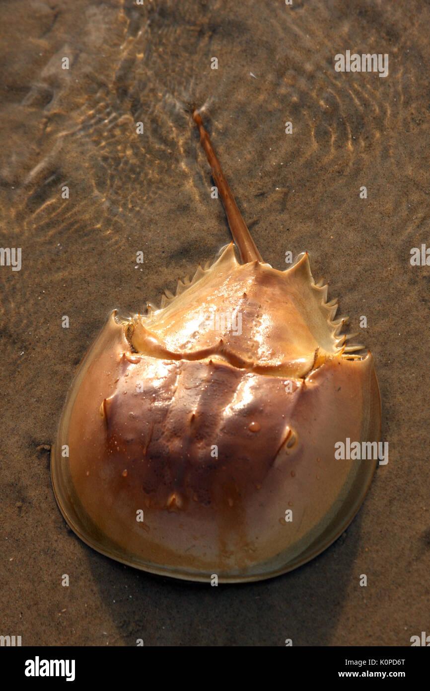 Horseshoe crab close to shore - Stock Image