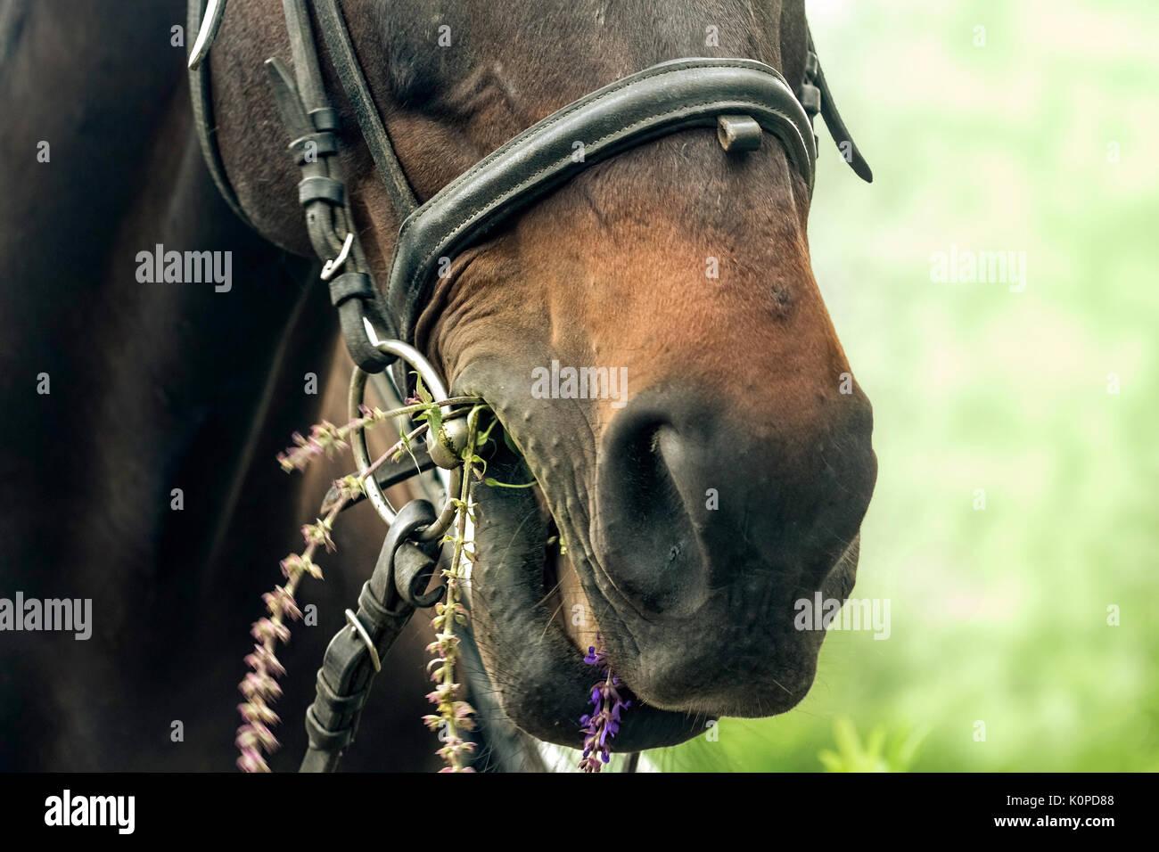 Bay horse eats sage flowers - Stock Image