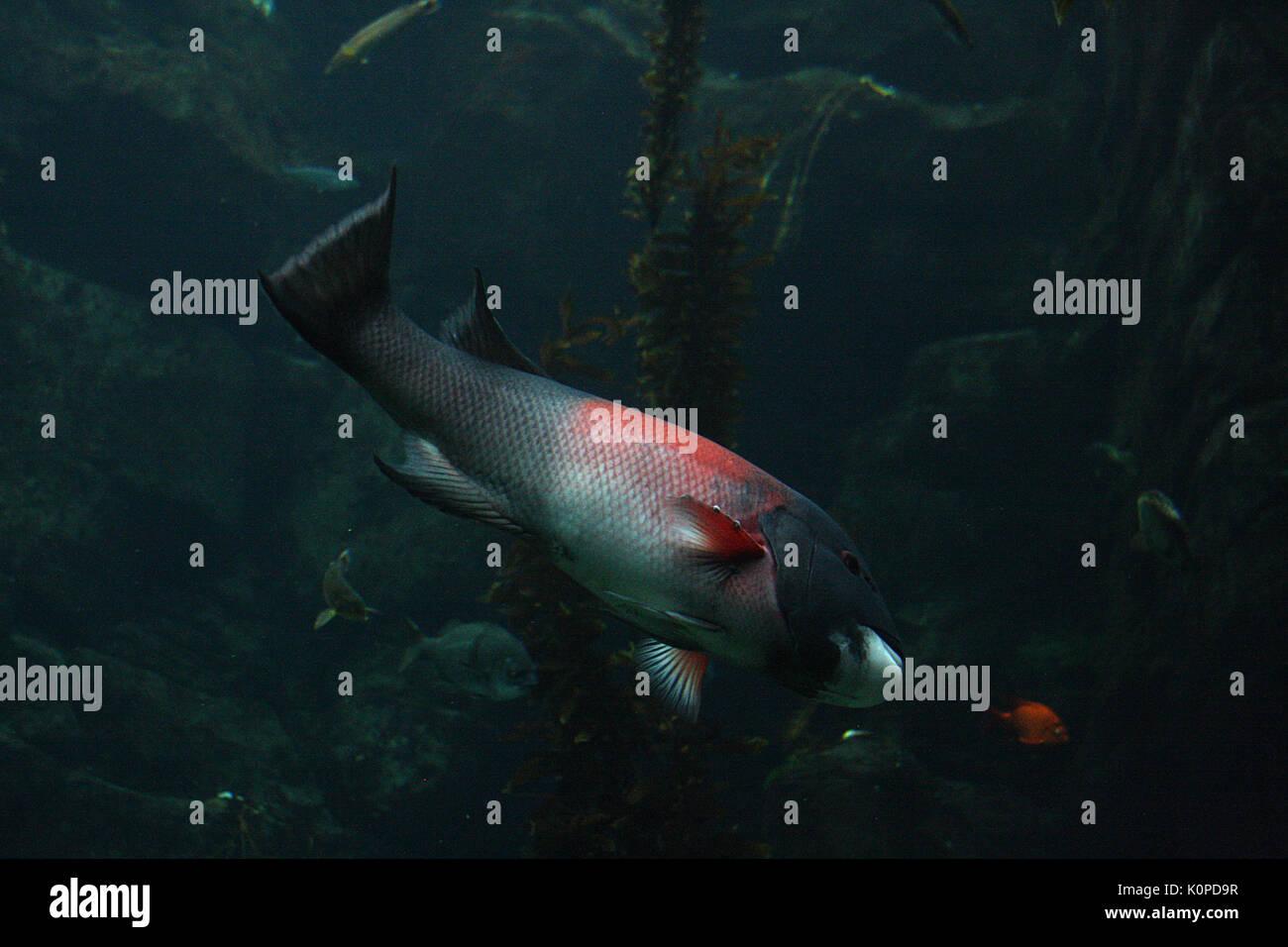 Underwater image of fish swimming - Stock Image