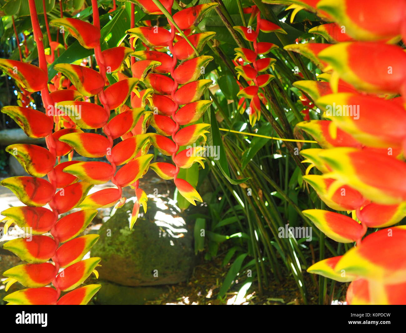 Heliconia, Lobster Claw Plants - Stock Image