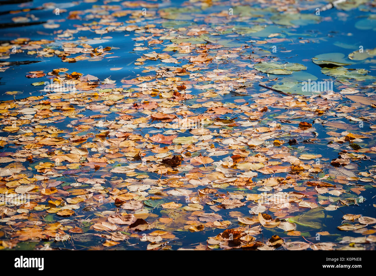 Colorful autumn leaves on cold blue water with sun reflections, gold ripples. Concept of autumn has come - Stock Image