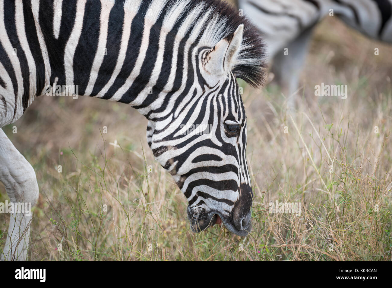 Burchell's zebra grazing in the Kruger National Park - Stock Image