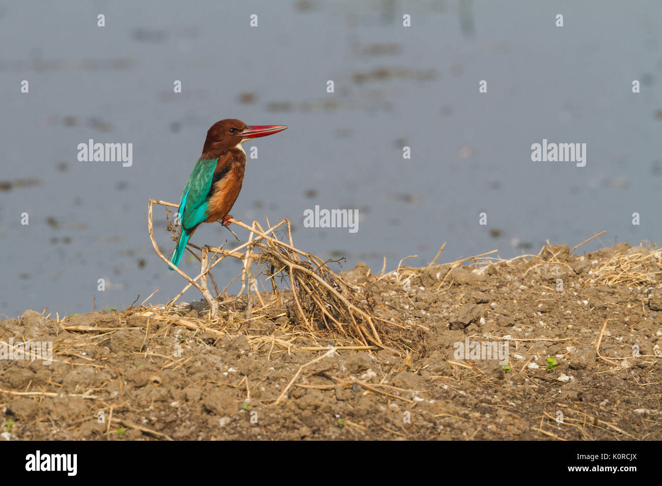 The white throated kingfisher (Halcyon smyrnensis)  at Bharatpur Bird Sanctuary - Stock Image