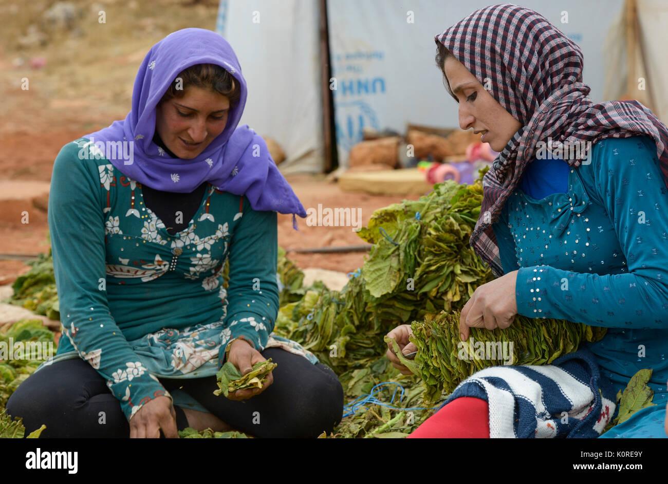 LEBANON Deir el Ahmad, camp for syrian refugees, women work as saisonal worker, tobacco harvest and drying / LIBANON Deir el Ahmad, Camp fuer syrische Fluechtlinge am Dorfrand, Frauen arbeiten als Erntehelfer, Tabakernte und Trocknung, links Najah Mansour - Stock Image