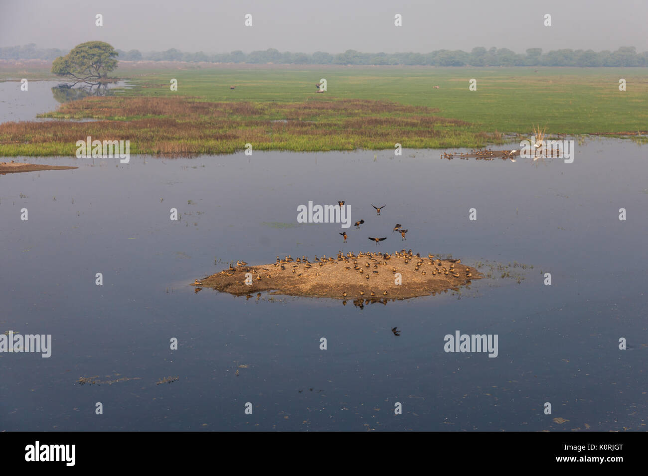 The lesser whistling duck (Dendrocygna javanica) at Bharatpur Bird Sanctuary - Stock Image