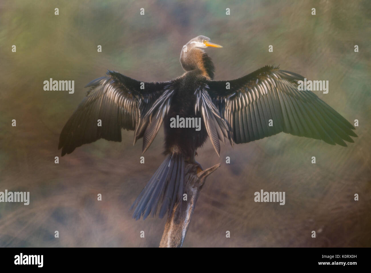 The Oriental darter or Indian darter (Anhinga melanogaster) preening itself by the lake at Bharatpur Bird Sanctuary, Stock Photo