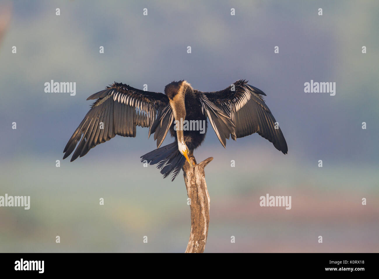 The Oriental darter or Indian darter (Anhinga melanogaster) preening itself by the lake at Bharatpur Bird Sanctuary, Rajasthan, India - Stock Image