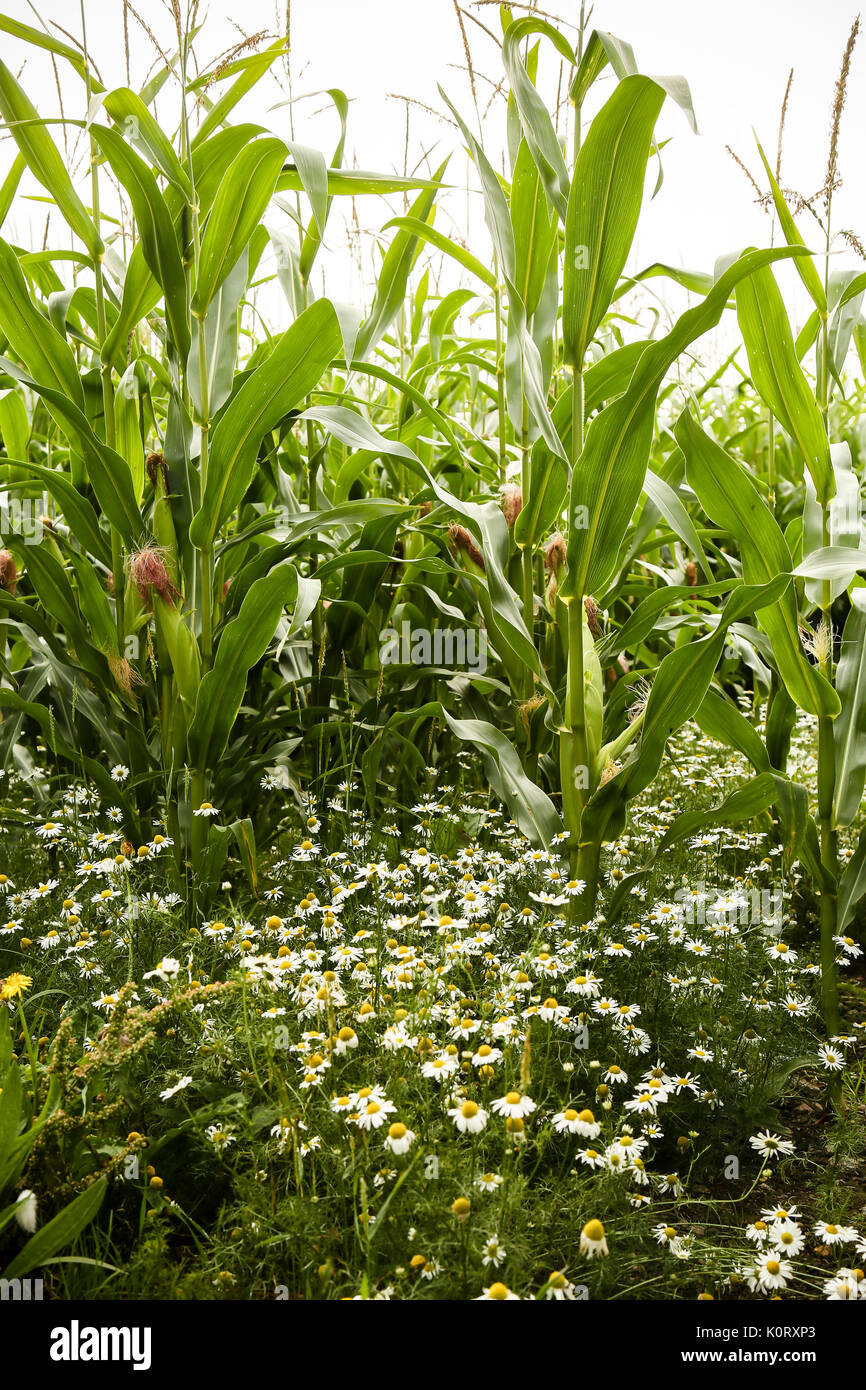 Maize crops ripening in August sunshine with wild daisies growing between the rows - Stock Image