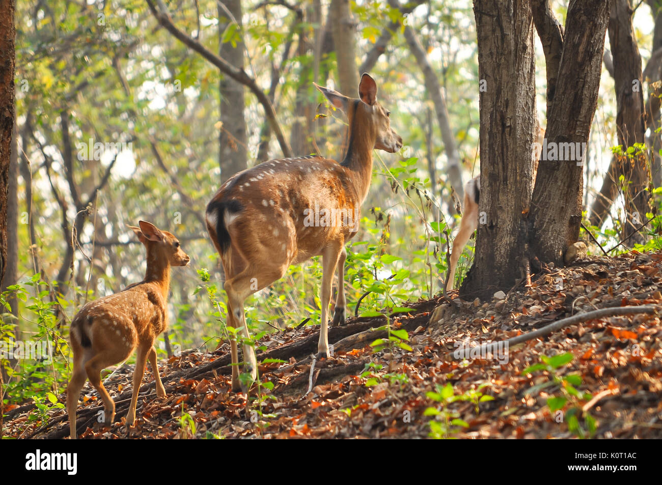 mother and baby Japanese deer are tricky at the morning. - Stock Image