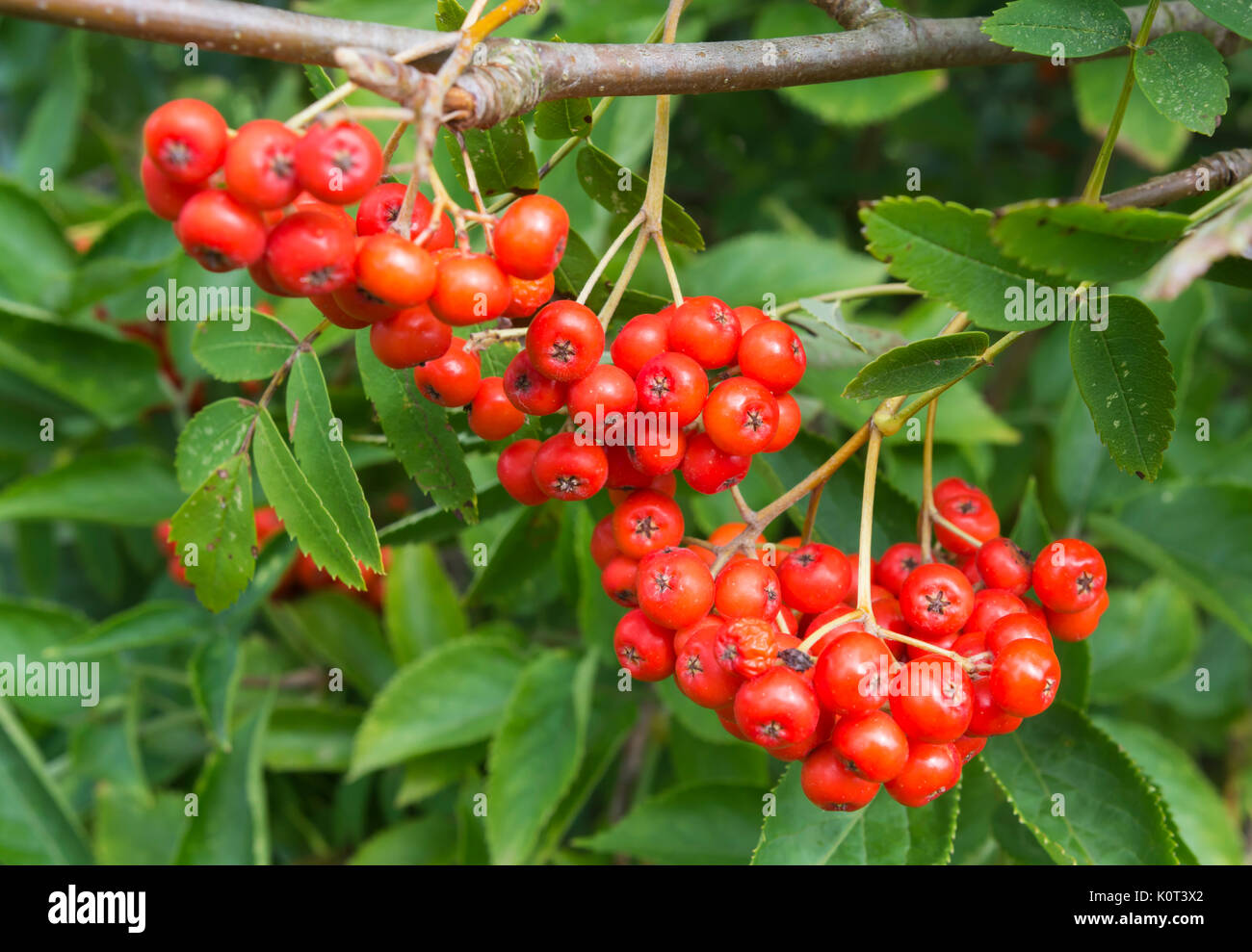 Small red berries from a Mountain Ash tree (Sorbus aucuparia or Rowan Tree) in early Autumn in the UK. Stock Photo