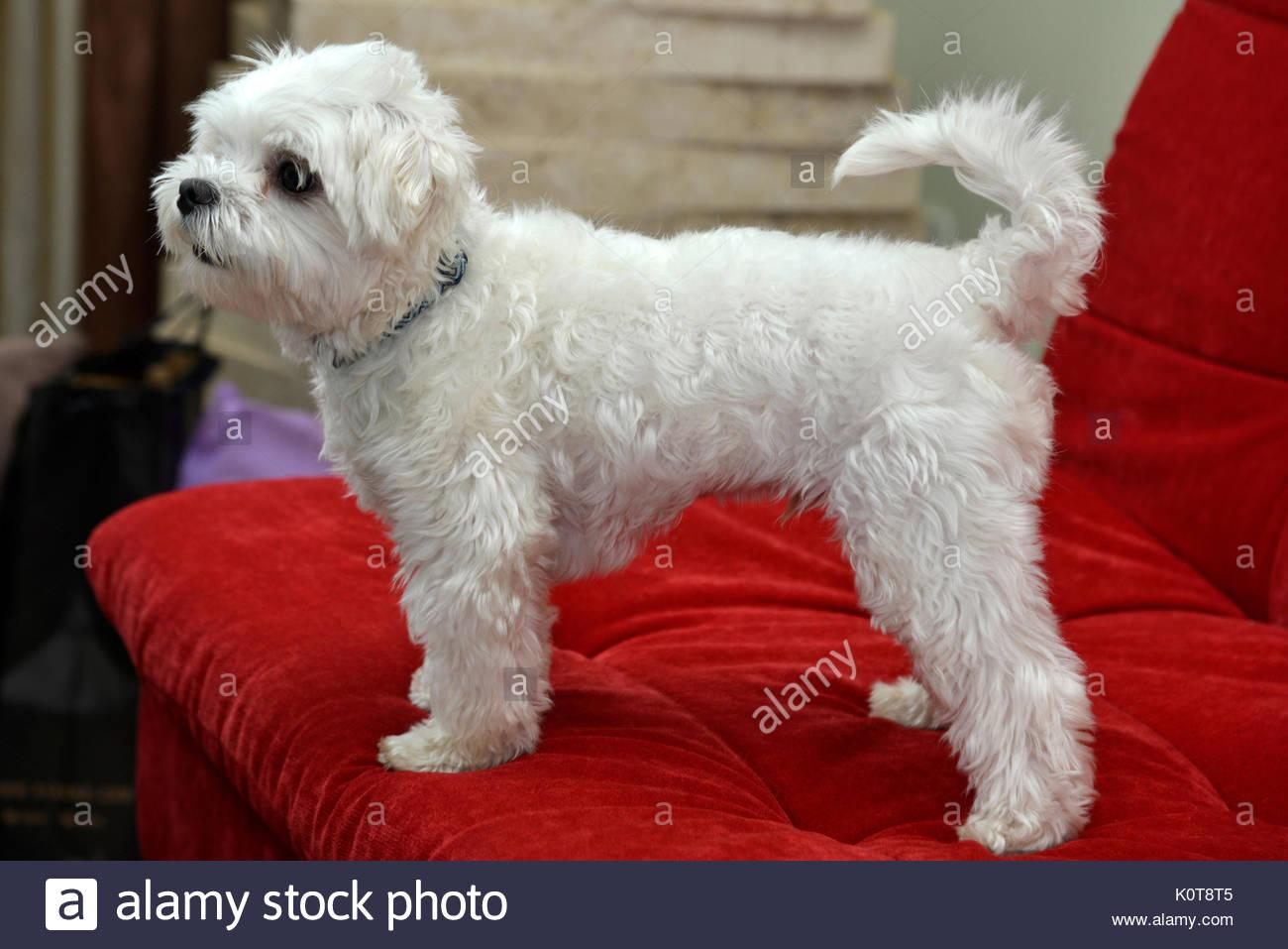 Puppy of the Maltese breed, Paulinia, Sao Paulo, Brazil, 01.2017 - Stock Image