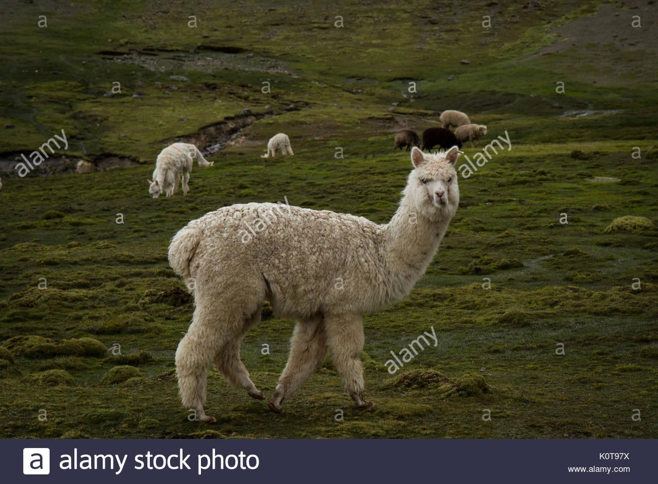 Llama - Stock Image