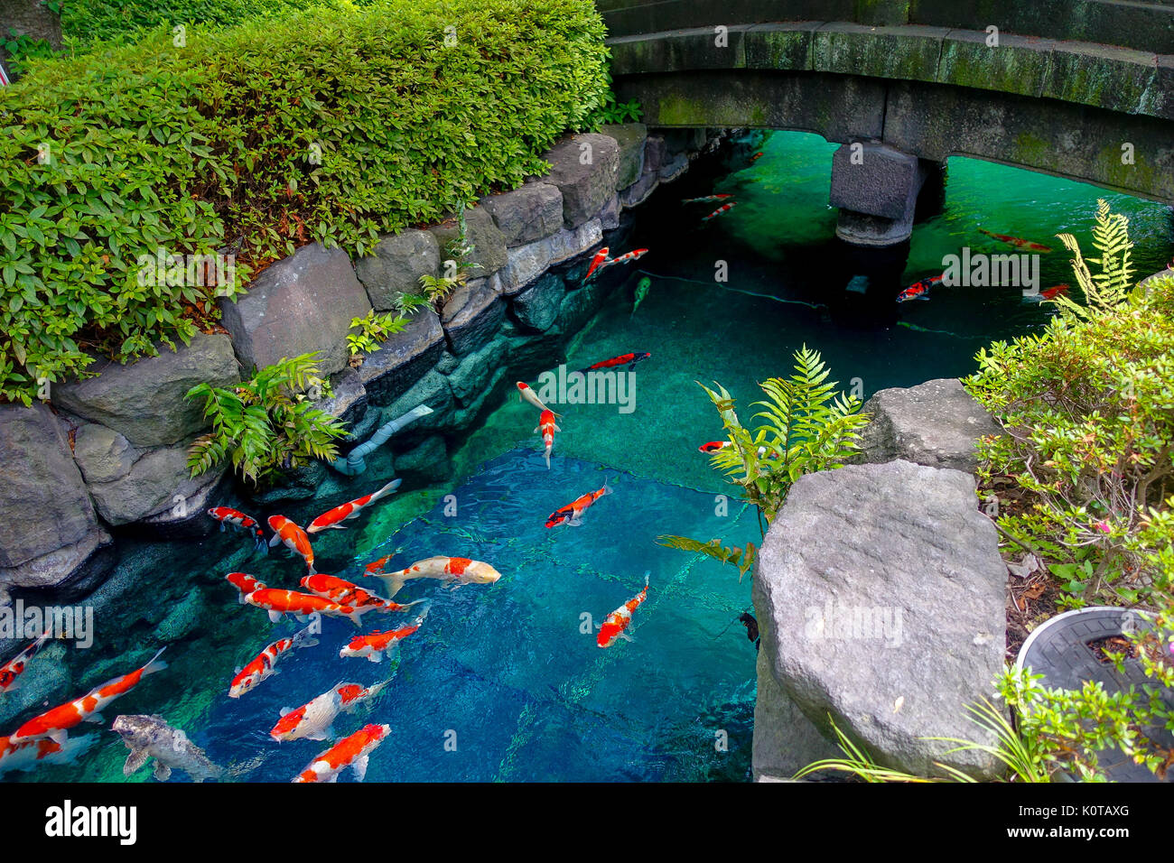 Beautiful koi fish swimming in pong in a small river pond for Beautiful koi ponds