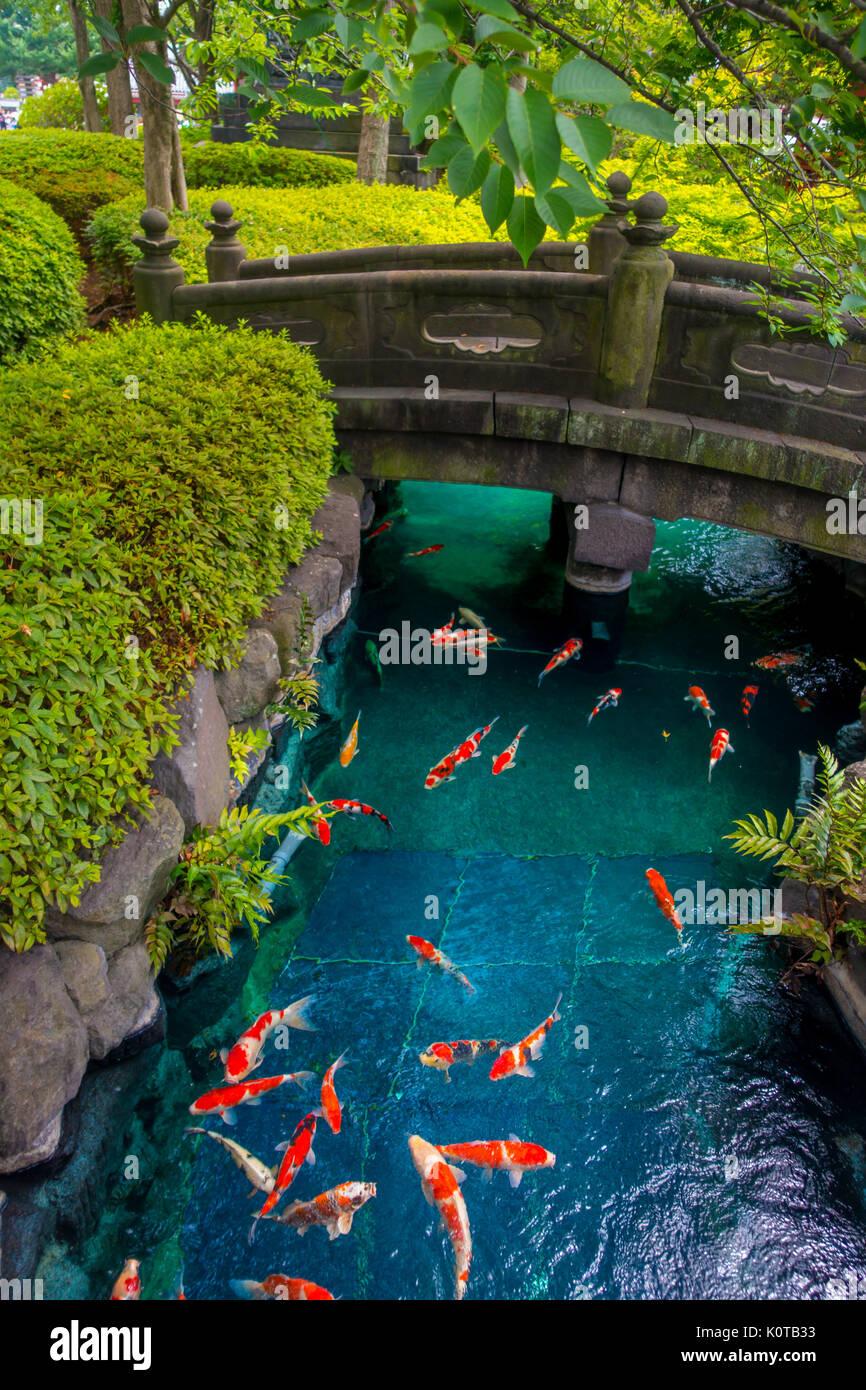 Beautiful koi fish swimming in pong in a small river pond for Koi garden rio di pusteria