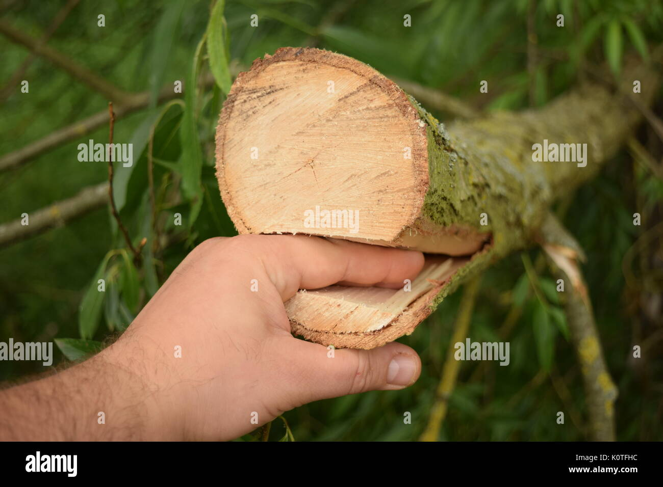 Caucasian male hand wedged in a thick branch - Stock Image