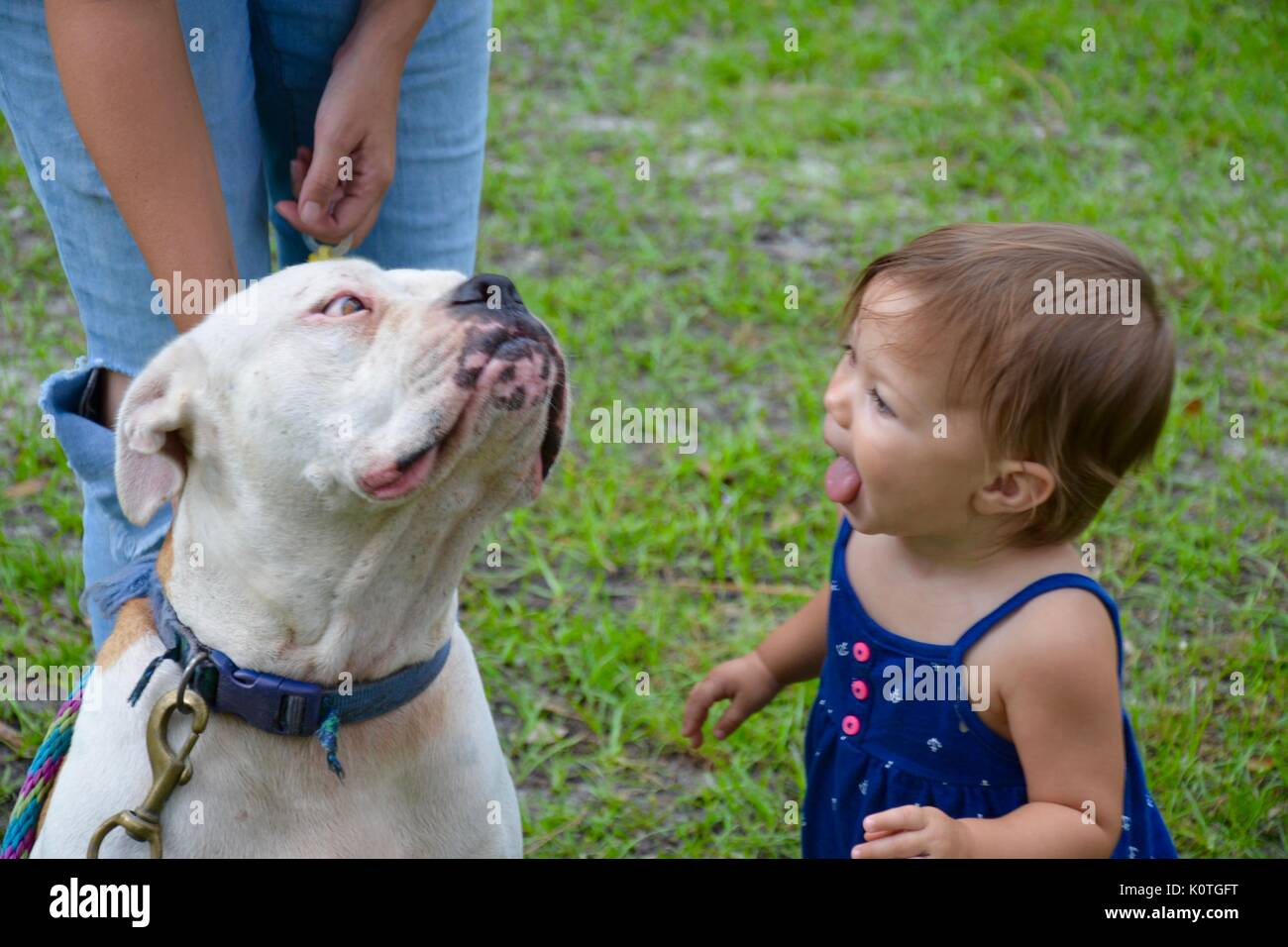 toddler with her tongue out to kiss her pet dog because thats how the dog kissed her. - Stock Image