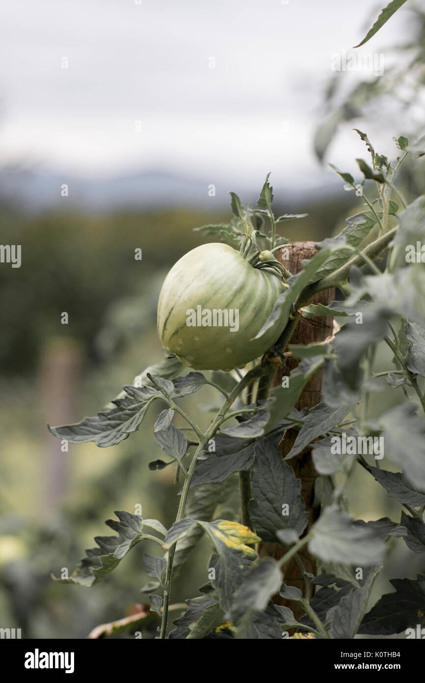 one green tomatoe growing - Stock Image