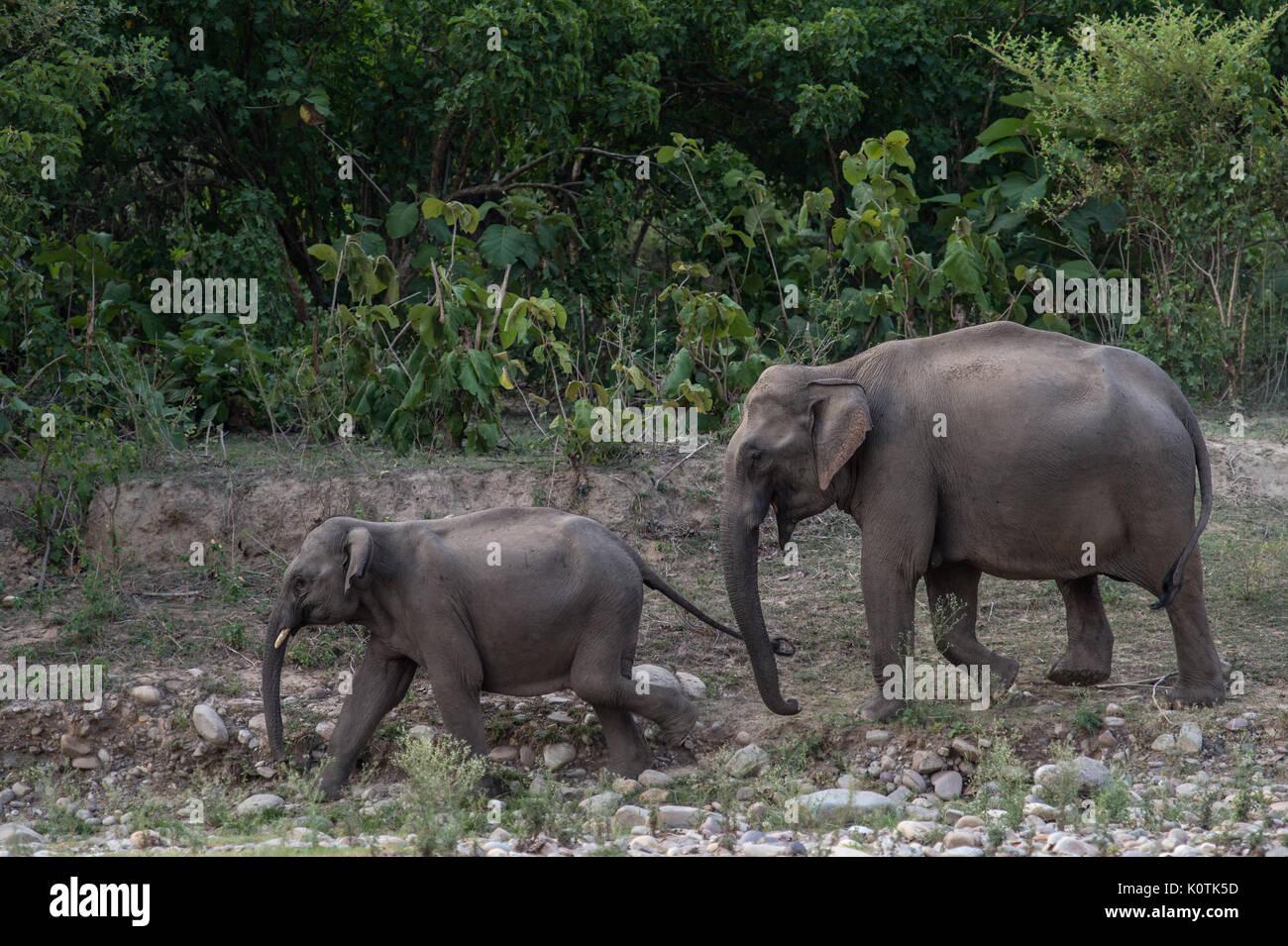 Indian Elephant, Elephas maximus indicus, Elephantidae,Rajaji National Park, India - Stock Image