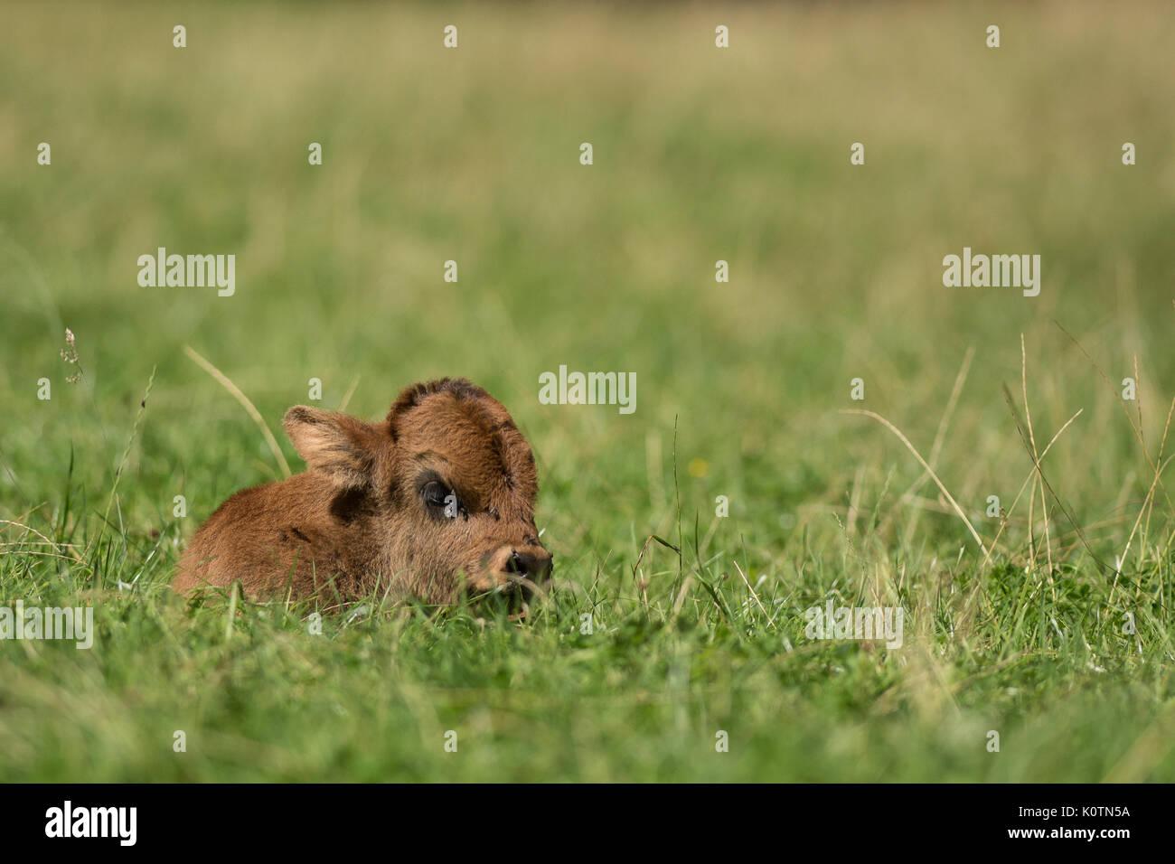 Aurox, Aurochs, Bos taurus primigenius - Stock Image