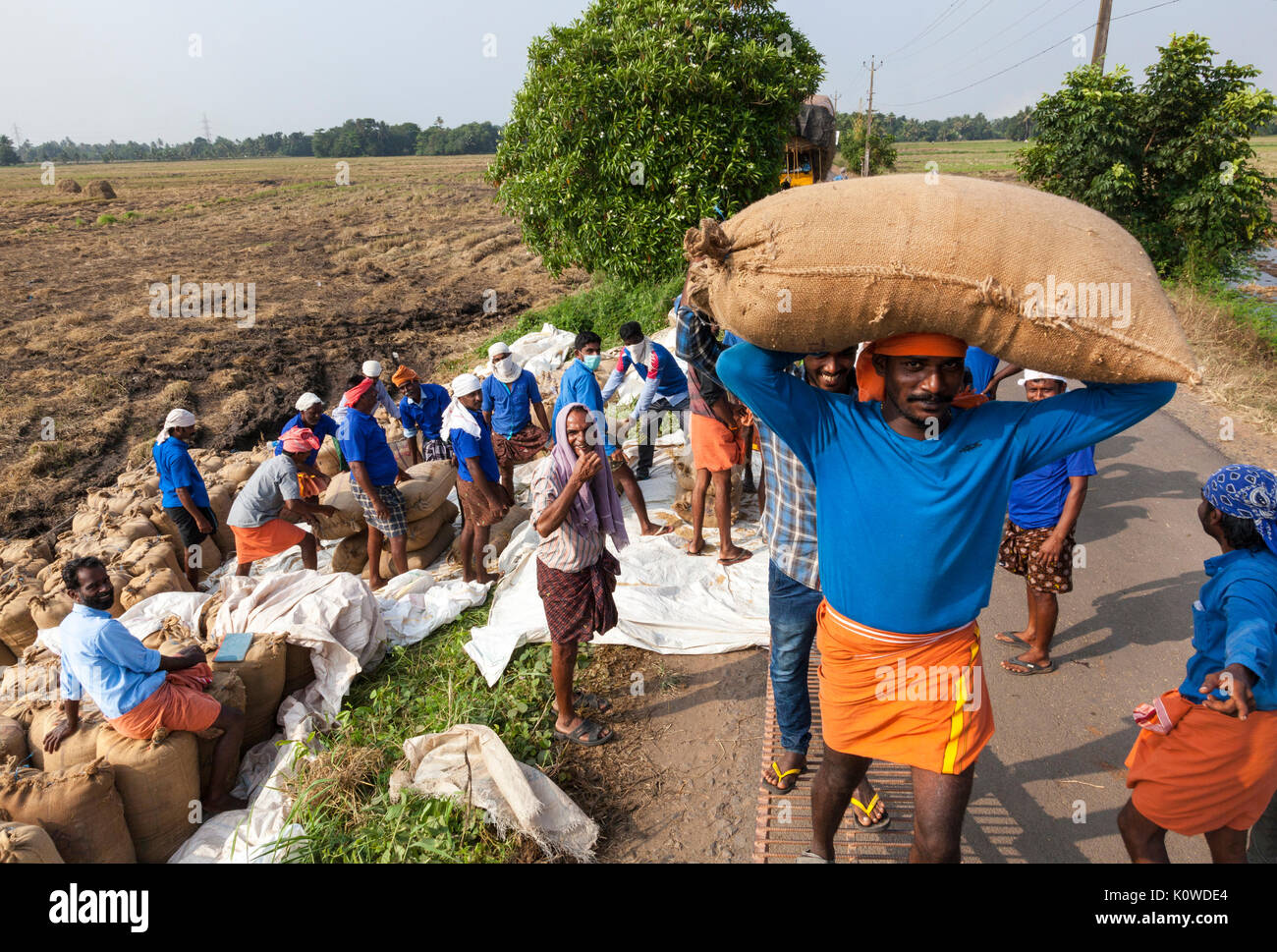 Indian labourers working during the rice harvest, Kerala, India - Stock Image