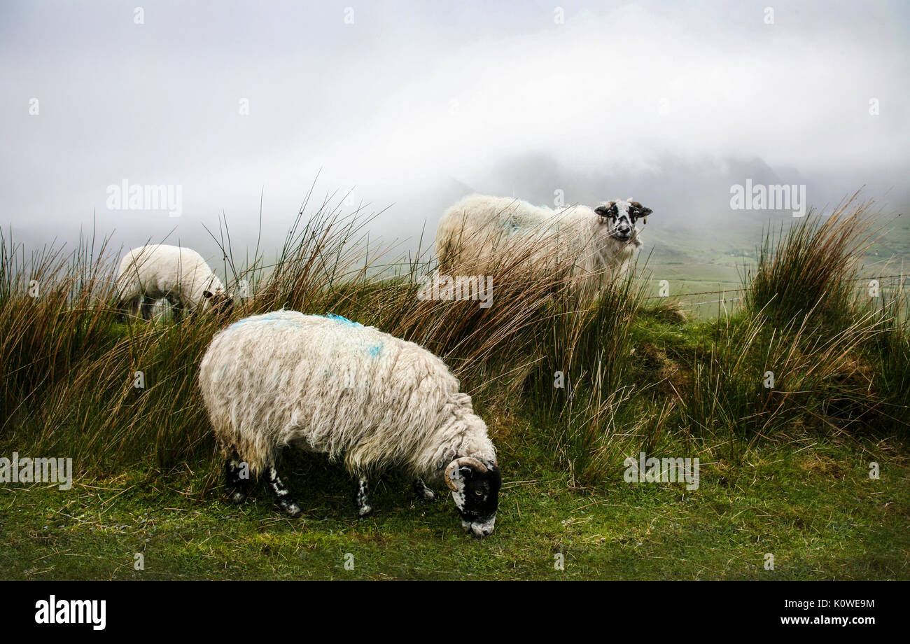 Three sheep grazing in a foggy meadow, Conner Pass,  Ireland, Europe - Stock Image