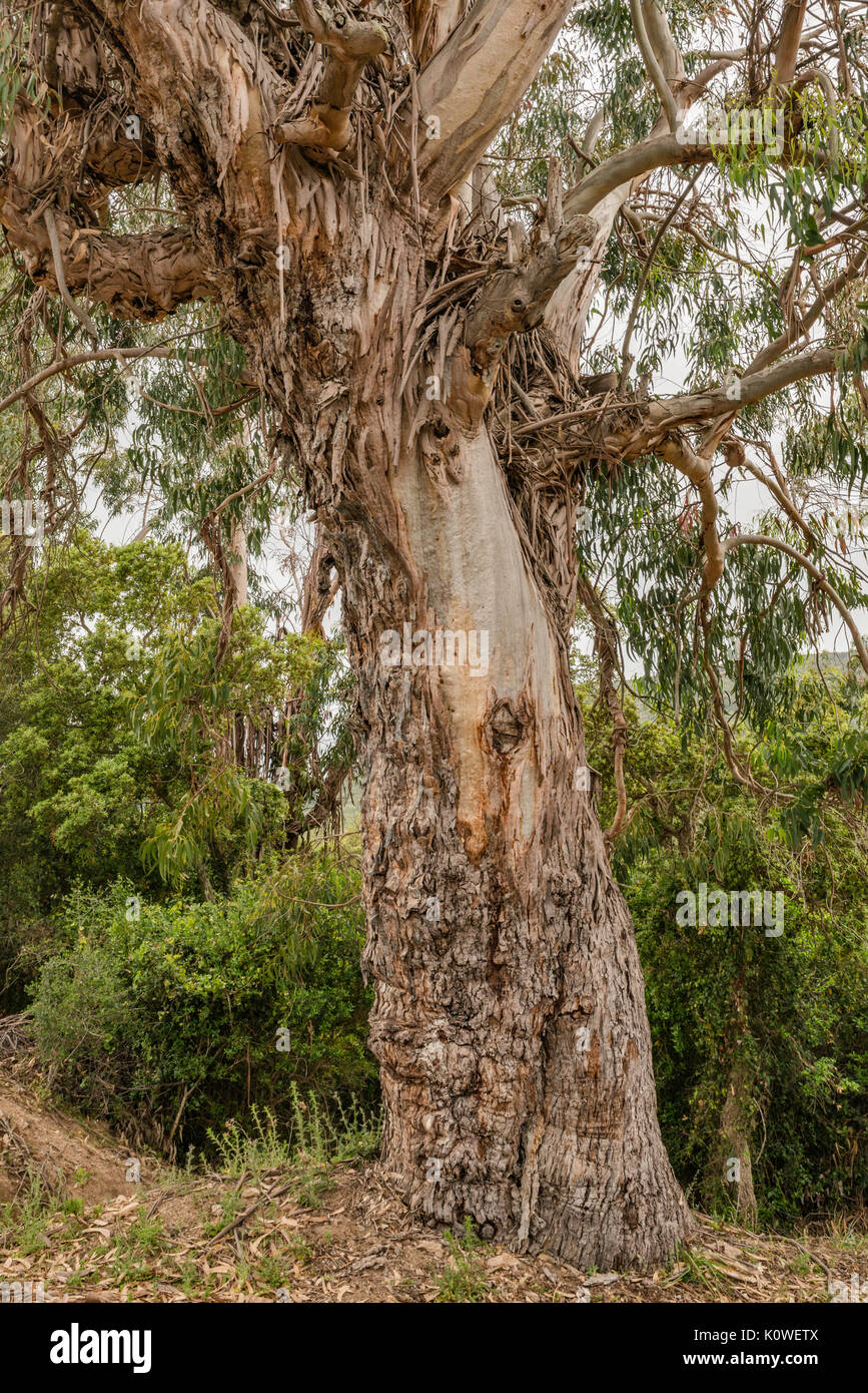 Eucalyptus tree trunk, introduced species brought from Australia, along road D-55 in Chiavari Forest, Corse-du-Sud, Corsica, France - Stock Image