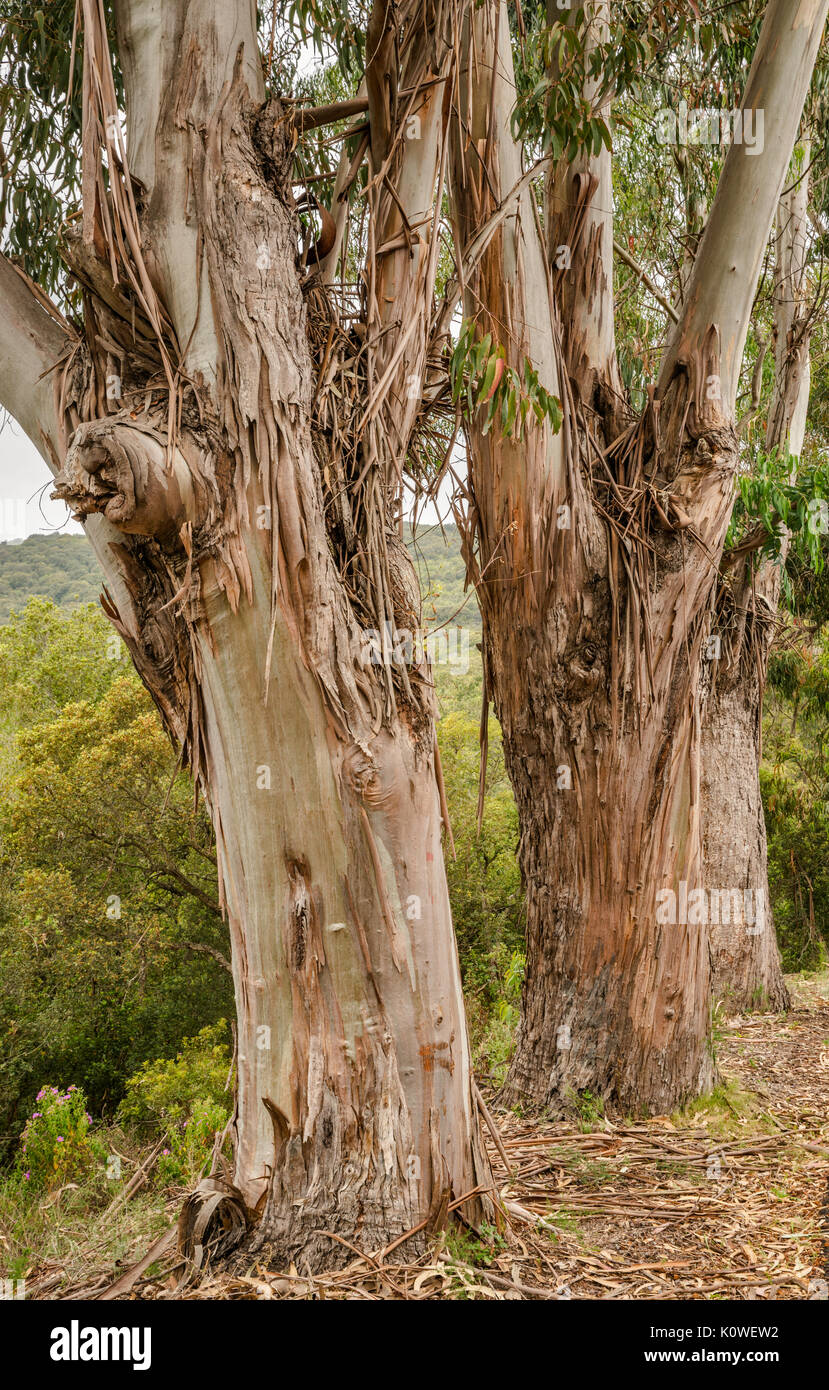Eucalyptus tree trunks, introduced species brought from Australia, along road D-55 in Chiavari Forest, Corse-du-Sud, Corsica, France - Stock Image